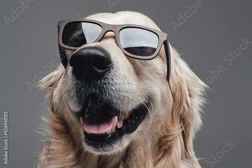 Obraz Headshot of a pretty dog wearing sunglasses in gray background - fototapety do salonu
