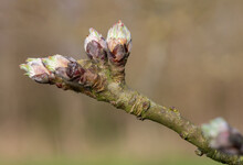 Macro Shot Of  Apple Buds At The Budburst Growth Stage