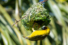 Southern Masked Weaver Building A Nest