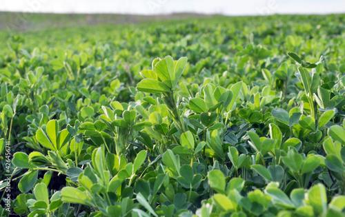 Fotografie, Obraz In the spring field young alfalfa grows