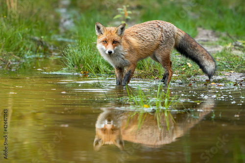 Fototapeta premium Red fox wading in water with reflection in summer nature