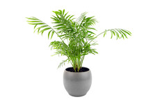 Chamaedorea Elegans In Pot Isolated On White Background. Parlour Palm In Gray Flowerpot, Houseplant Green Leaves