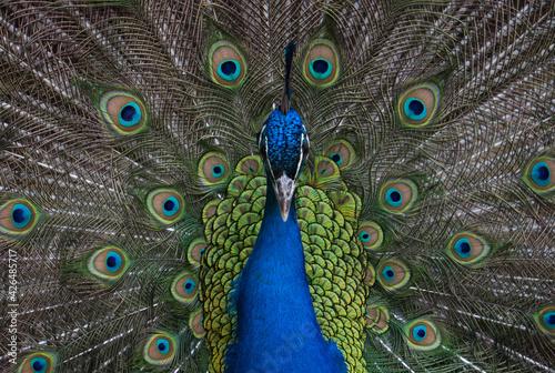 Exotic peacock portrait. Vibrant colors Wallpaper Mural