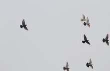 Flock Of Birds Flying To The Right On Grey Sky Background
