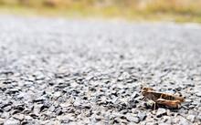 Grasshopper On Gravel Road, Closeup, Copy Space.