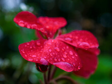 Macro Photography Of Drops Of Water On A Garden Geranium Flower, Captured In A Garden Near The Town Of Arcabuco In The Central Andean Mountains Of Colombia.