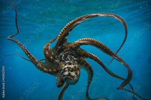 Octopus in Hawaiian Water Tapéta, Fotótapéta