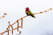Handsome Male Anna's Hummingbird Poses On A Willow Branch