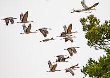 Flock Of Sandhill Cranes In Flight Near Othello Washington
