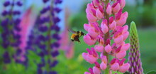 Bumble Bee Among The Lupins