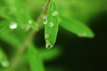 Drop Falling From The Leaf. Nature Spring Background. Bright Greens In Soft Focus, Space For Text