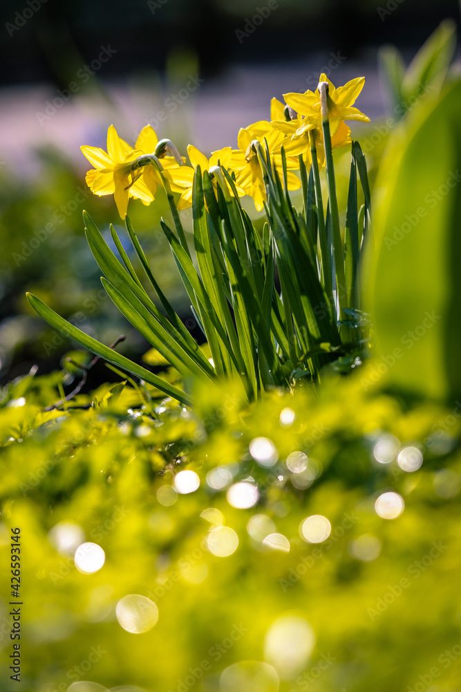 Żółte żonkile w wiosennym ogródku - obrazy, fototapety, plakaty