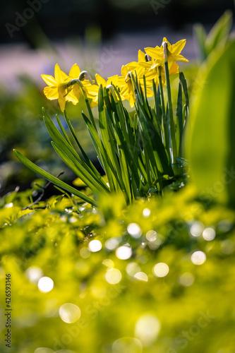 Obraz Żółte żonkile w wiosennym ogródku - fototapety do salonu