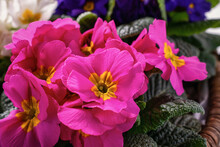 Close-up Of Pink Primroses, In A Wicker Basket. Blue And White Primroses In Blur In The Background.