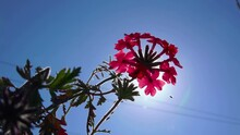 4k Flower Background. Flowering Pink Primula Against Blue Sky And Sun Primul