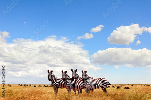 Wild zebras in the African savanna against the beautiful blue sky with white clouds. Wildlife of Africa. Tanzania. Serengeti national park. African landscape. Copy space.