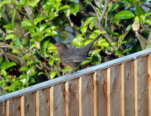 Fototapeta Closeup shot of a true thrush bird perched on a fence