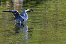 A Grey Heron Opens Its Wings In The Middel Of The River