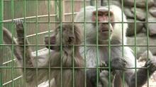 Ultra HD 4K Monkey Family In Captivity At Zoo Baby Ape Hamadryas Baboon