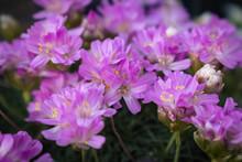 Pink Armeria Maritima, Sea Thrift Flowers Bloom In The Garden