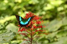 Malabar Banded Peacock Butterfly, Papilo Buddha, Kudremukh Wildlife Sanctuary, Karnataka India