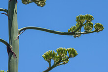 Close-up Of A Branch Of An Agave Flower Against A Blue Sky