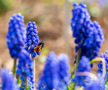 Wild Honey Bee On A Grape Hyacinth