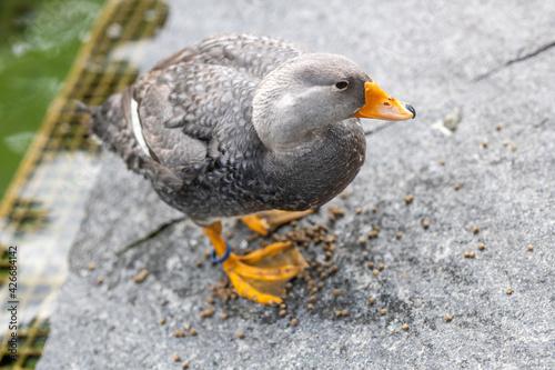 High angle shot of a cute flightless Steamer Duck Fototapeta