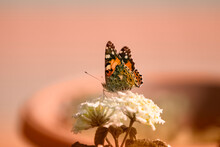 Orange Butterfly On Tiny White Flower With Creamy Salmon Pink  Background.