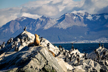 Sea Lions And Cormorants On Islet In Beagle Channel, Ushuaia, Argentina.