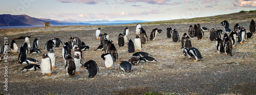Gentoo penguin colony on Martillo Island, Ushuaia Fototapet