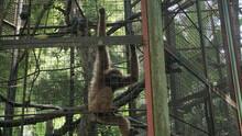 Javan Langur In A Zoo Enclosure