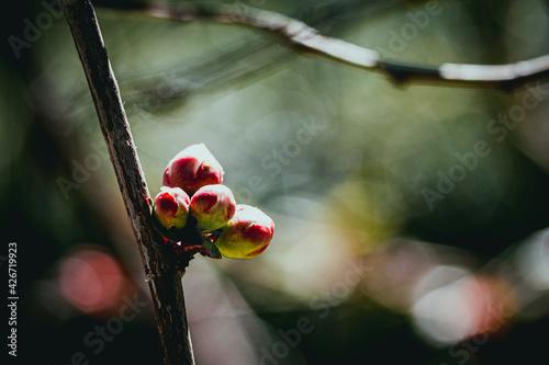 Papel de parede Bourgeon de cognassier du japon sur la branche de l'arbre