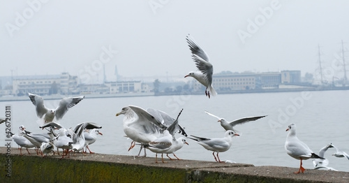 Photo Larus Larinae rissa seagulls in flight on the boulevard in Gdynia