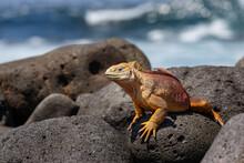 Yellow Galapagos Land Iguana On Saymour Island.