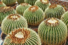 Group Of Prepared For Trendy Landscaping Oversized Potted Golden Barrel Cactuses Or Echinocactus Grusonii In Plastic Pots In Garden Centre. Ornamental Giant Cactuses For Exterior Design.