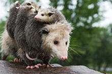 Virginia Opossum (Didelphis Virginiana) With Joeys Looks Out Wearily Summer