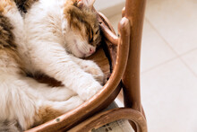 Close Up High Angle View Of A Beautiful Calico Cat Enjoying Sleep On A Reversed Rustic Chair With Some Copy Space.
