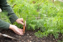 Close Up Man Harvesting Baby Carrot In Vegetable Garden