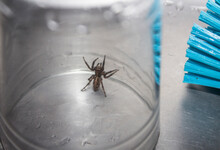Close Up Image Of A Brown Spider Standing Up Trapped In A Water Glass Next To A Blue Dish Brush Within A Steel Lavatory.