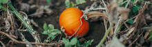 Autumn Fall Harvest. Halloween Thanksgiving Holiday. Cute Small Red Organic Pumpkins Growing On Farm. Red Yellow Ripe Pumpkin Lying On Ground In Garden Outdoor. Web Banner Header.
