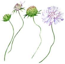 Watercolor Field Scabious Flowers Isolated On The White Background. Hand-drawn Illustration Of Flower Blossom.