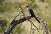 Eastern Yellow-billed Hornbill Sitting On Dead Branch, Samburu Game Reserve, Kenya