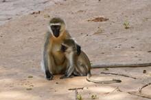 Female Black-faced Vervet Monkey With Nursing Baby, Sitting On Sandy Ground Near River, Samburu Game Reserve, Kenya