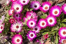 Vivid Pink Flowers Of Lampranthus Spectabilis