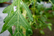 A Close Up Shot Of Leaves Of Papaya Tree. Plant Is Usually Unbranched And Has Hollow Stems And Petioles. Leaves Are Palmately Lobed, Spirally Arranged And Clustered At The Growing Tip Of The Trunk