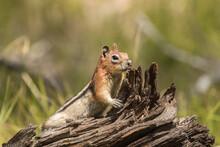 Golden-mantled Ground Squirrel In Idaho