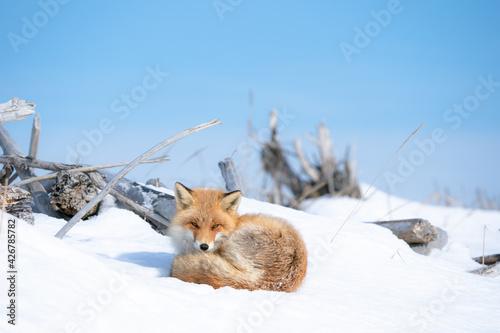 Fototapeta 雪の中のキタキツネ