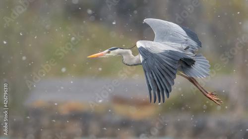 Fotografia, Obraz The grey heron in the snow (Ardea cinerea)