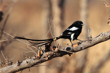 The Magpie Shrike (Urolestes Melanoleucus), Also Known As The African Long-tailed Shrike On The Branch In The Yellow Dry Savannah.